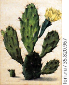 Prickly Pear in Bloom by Herman Saftleven (1609-1685) watercolour and gouache, over graphite, 1683. Редакционное фото, агентство World History Archive / Фотобанк Лори