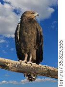 Lesser spotted eagle (Aquila pomarina) Стоковое фото, фотограф Валерия Попова / Фотобанк Лори