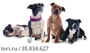 Portrait of two staffordshire bull terrier in front of white background. Стоковое фото, фотограф Zoonar.com/Emmanuelle BONZAMI / age Fotostock / Фотобанк Лори