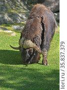 Muskox (Ovibos moschatus), hoofed mammal of family Bovidae. Стоковое фото, фотограф Валерия Попова / Фотобанк Лори