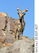 Old male markhor (Capra falconeri) with powerful horns. Стоковое фото, фотограф Валерия Попова / Фотобанк Лори