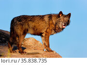 Gray wolf (Canis lupus) standing on rocks. Стоковое фото, фотограф Zoonar.com/Don Mammoser / age Fotostock / Фотобанк Лори