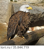 Bald eagle (Haliaeetus leucocephalus) slumbers in spring sun. Стоковое фото, фотограф Валерия Попова / Фотобанк Лори