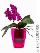 Фиолетовая орхидея фаленопсис в цветном горшке на белом фоне. Стоковое фото, фотограф V.Ivantsov / Фотобанк Лори