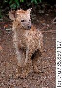 Junge Tüpfelhyäne, Krüger Nationalpark, Südafrica, hyena, south africa... Стоковое фото, фотограф Zoonar.com/W. Woyke / age Fotostock / Фотобанк Лори