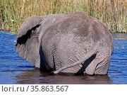 Afrikanischer Elefant (Loxodonta africana), badend, im Moremi Wildreservat... Стоковое фото, фотограф Zoonar.com/W. Woyke / age Fotostock / Фотобанк Лори