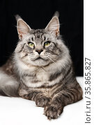 Pretty mackerel tabby Maine Shag Cat lying on black and white background and looking at camera. Стоковое фото, фотограф А. А. Пирагис / Фотобанк Лори
