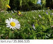 Dandelions (Taraxacum officinale), Common daisies (Bellis perennis) and Germander speedwell (Veronica chamaedris) flowering in a garden lawn left unmown... Стоковое фото, фотограф Nick Upton / Nature Picture Library / Фотобанк Лори