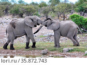 Kämpfende Elefanten, Etosha-Nationalpark, Namibia, (Loxodonta africana... Стоковое фото, фотограф Zoonar.com/WIBKE WOYKE / age Fotostock / Фотобанк Лори