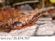 Brown toad close up. Стоковое фото, фотограф Argument / Фотобанк Лори