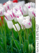 white tulip field. Стоковое фото, агентство Ingram Publishing / Фотобанк Лори