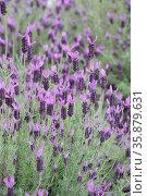 Purple flower field. Стоковое фото, агентство Ingram Publishing / Фотобанк Лори