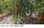 Closeup of red pomegranates ripening in green leaves on tree branches in fruit garden. Стоковое видео, видеограф Яков Филимонов / Фотобанк Лори