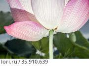 Close-up of pink lotus flower, China . Стоковое фото, агентство Ingram Publishing / Фотобанк Лори