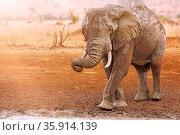 Großer Elefant mit Matsch im Kruger Nationalpark Südafrika, huge ... Стоковое фото, фотограф Zoonar.com/WIBKE WOYKE / age Fotostock / Фотобанк Лори