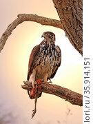 Afrikanischer Habichtsadler im Morgenlicht mit einem Bein eines Perlhuhns... Стоковое фото, фотограф Zoonar.com/WIBKE WOYKE / age Fotostock / Фотобанк Лори