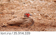Swainsonfrankolin nimmt ein Sandbad, Südafrika, Kruger Park, Pternistis... Стоковое фото, фотограф Zoonar.com/W. Woyke / age Fotostock / Фотобанк Лори