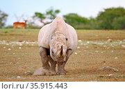 Spitzmaulnashorn ohne Ohren greift an, Etosha, Namibia, black rhinoceros... Стоковое фото, фотограф Zoonar.com/W. Woyke / age Fotostock / Фотобанк Лори