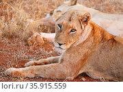 Löwin, Kruger NP, Südafrika - lioness, Kruger NP, South Africa. Стоковое фото, фотограф Zoonar.com/WIBKE WOYKE / age Fotostock / Фотобанк Лори