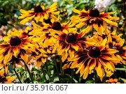 Orangefarbene Korbblütler im Garten. Стоковое фото, фотограф Zoonar.com/Dr. Norbert Lange / easy Fotostock / Фотобанк Лори
