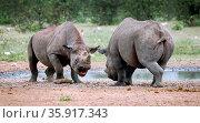 Kämpfende Spitzmaulnashörner, Etosha, Namibia, fighting black rhinoceroses... Стоковое фото, фотограф Zoonar.com/WIBKE WOYKE / age Fotostock / Фотобанк Лори