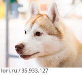 Portrait of thoroughbred Siberian Husky dog. Стоковое фото, фотограф Татьяна Яцевич / Фотобанк Лори