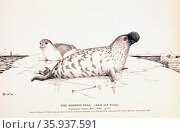 The Hooded Seal. (Adult and young.) Cystophora cristata 1890. Редакционное фото, агентство World History Archive / Фотобанк Лори