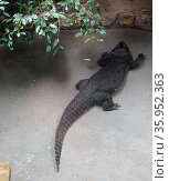 The West African dwarf crocodile (2016 год). Редакционное фото, агентство World History Archive / Фотобанк Лори