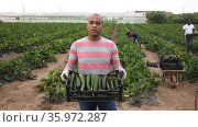 Portrait of successful hispanic grower engaged in cultivation of organic green courgettes posing on vegetable plantation during harvest in spring. Стоковое видео, видеограф Яков Филимонов / Фотобанк Лори