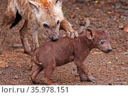 Junge Hyänen, Krüger Nationalpark, Südafrica, hyena, south africa... Стоковое фото, фотограф Zoonar.com/Wibke Woyke / age Fotostock / Фотобанк Лори