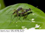 Mating pair of Stilt-legged Flies (Micropezidae Family) on leaf, ... Стоковое фото, фотограф Colin Marshall / age Fotostock / Фотобанк Лори
