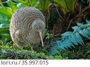 Great spotted kiwi (Apteryx haastii) Captive, Otorohanga Breeding Facility, New Zealand. Стоковое фото, фотограф Tui De Roy / Nature Picture Library / Фотобанк Лори