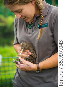 Ranger with Rowi / Okarito brown kiwi (Apteryx rowi) chick, held in outdoor pens where Department of Conservation rangers perform final health screening... Стоковое фото, фотограф Tui De Roy / Nature Picture Library / Фотобанк Лори