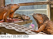 Three rescued Green iguanas (Iguana iguana) in a climate-controlled enclosure. These iguanas are among twenty which were unwanted pets or found in yards... Стоковое фото, фотограф Karine Aigner / Nature Picture Library / Фотобанк Лори