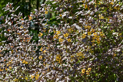 Bunch of barberry bush with red and green bright leaves and sharp thorns and yellow flowers is in a park in summer