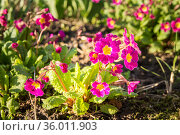 Blooming primrose in a flower bed. Стоковое фото, фотограф Дмитрий Тищенко / Фотобанк Лори