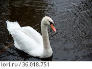 Beautiful white swan on the water surface. Стоковое фото, фотограф Zoonar.com/Yuri Dmitrienko / easy Fotostock / Фотобанк Лори
