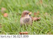 Sparrow in green grass. Стоковое фото, фотограф Argument / Фотобанк Лори