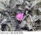 Blooming Centaurea gymnocarpa perennial evergreen used as ornamental ground cover plant. Стоковое фото, фотограф Irina Opachevsky / Фотобанк Лори