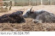 Як (лат.  Bos mutus) - парнокопытное млекопитающее из рода настоящих быков семейства полорогих. Стоковое фото, фотограф Наталья Гармашева / Фотобанк Лори