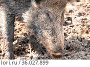 Wildschwein im dreck. Стоковое фото, фотограф Zoonar.com/Kay Augustin / easy Fotostock / Фотобанк Лори