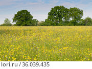 Formerly farmed meadow with many flowering Meadow buttercups (Ranunculus acris) surrounded by mature hedgerows and English oak trees (Quercus robur), Wiltshire... Стоковое фото, фотограф Nick Upton / Nature Picture Library / Фотобанк Лори