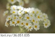 Flora of Gran Canaria - Tanacetum ptarmiciflorum, silver tansy, plant endemic to the island, natural macro background. Стоковое фото, фотограф Tamara Kulikova / Фотобанк Лори