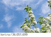 Ветви яблони, усыпанные белыми цветами, на фоне неба с белыми облаками. Весенний день, солнечно. Стоковое фото, фотограф E. O. / Фотобанк Лори