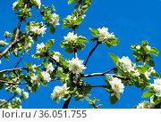 Ветви яблони с белыми цветами, на фоне синего неба. Весенний день, солнечно. Стоковое фото, фотограф E. O. / Фотобанк Лори