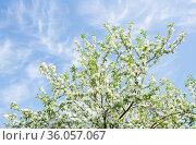 Ветви яблони, усыпанные белыми цветами. На фоне неба с белыми облаками. Весна. Стоковое фото, фотограф E. O. / Фотобанк Лори