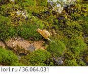 Молодая виноградная улитка, или эскарго (Helix pomatia), ползёт по мху. Young Edible snail or escargot (Helix pomatia) moves on the moss. Стоковое фото, фотограф Евгений Романов / Фотобанк Лори