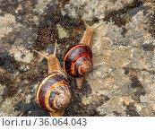 Виноградная улитка, или эскарго (Helix pomatia), ползёт по камню. Edible snail or escargot (Helix pomatia) crawling on a rock. Стоковое фото, фотограф Евгений Романов / Фотобанк Лори