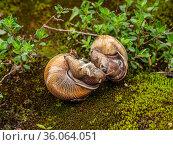 Процесс спаривания у виноградных улиток, или эскарго (Helix pomatia). The process of copulation in Edible snail or escargot (Helix pomatia). Стоковое фото, фотограф Евгений Романов / Фотобанк Лори
