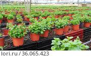 Rows of pots with organic mint seedlings growing in greenhouse farm. Стоковое видео, видеограф Яков Филимонов / Фотобанк Лори